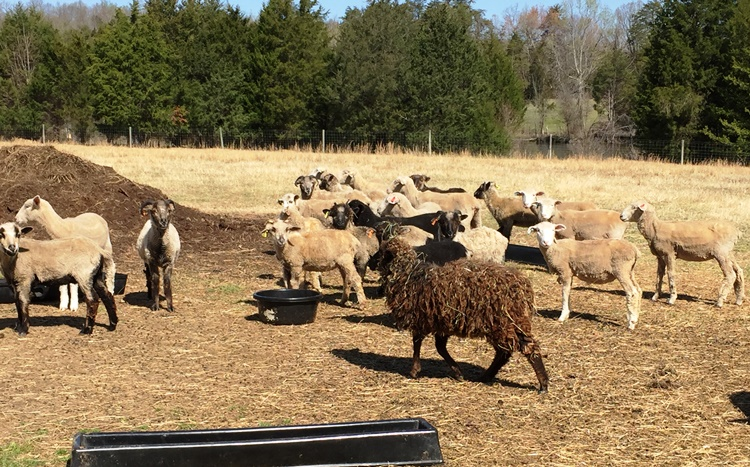 Ewes at Stoney Mountain Farm in Burlington on the Piedmont Farm Tour - Incredible NC