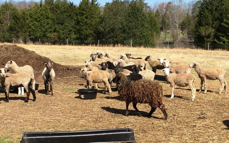 Ewes at Stoney Mountain Farm in Burlington on the Piedmont Farm Tour - Incredible NC