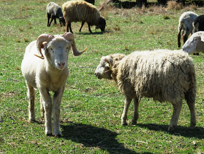 Rams at Stoney Mountain Farm in Burlington on the Piedmont Farm Tour - Incredible NC