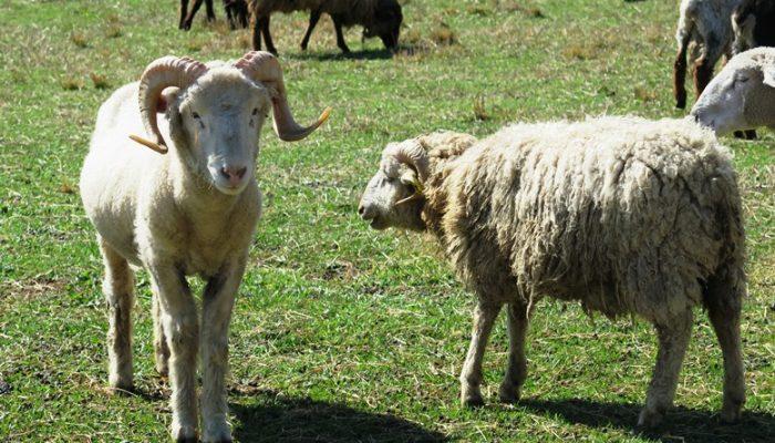 Travel: Stoney Mountain Farm in Burlington, Sheepish Good Fun!